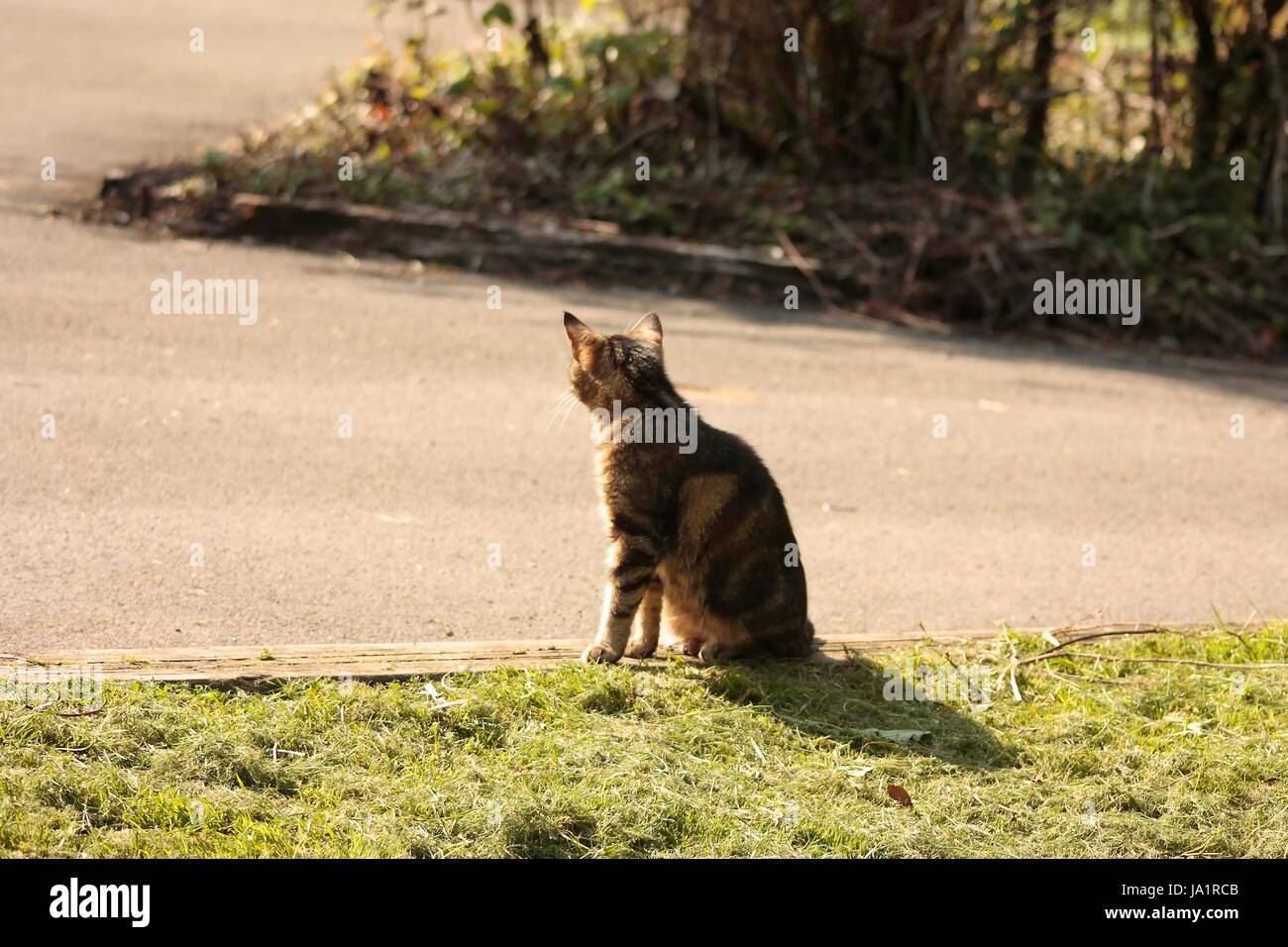 Isolated back view of a tabby cat outside in sunlight casting a shadow while sitting on the ground - Stock Image