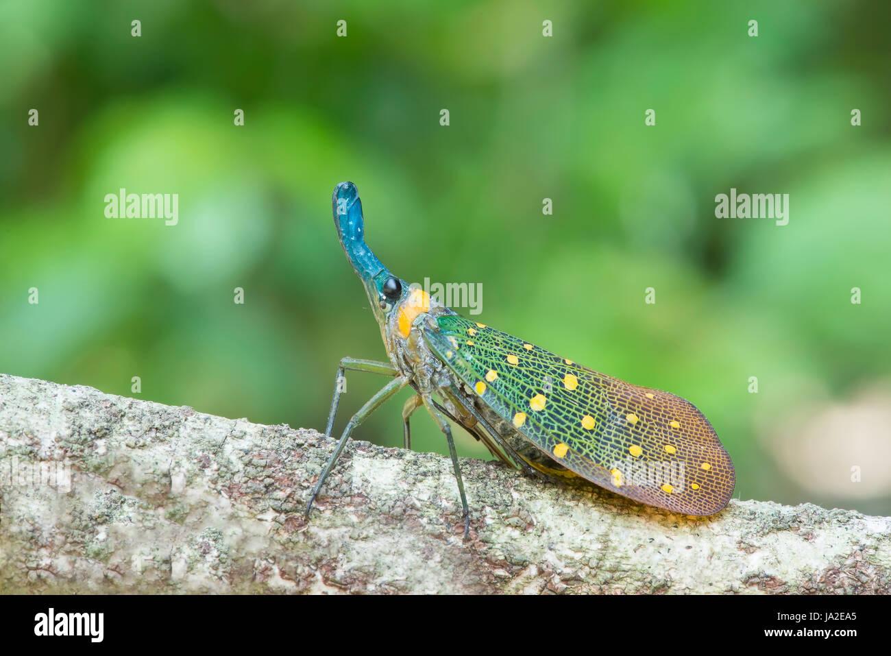 lantern bug . pyrops whiteheadi species from sabah, malaysia. - Stock Image