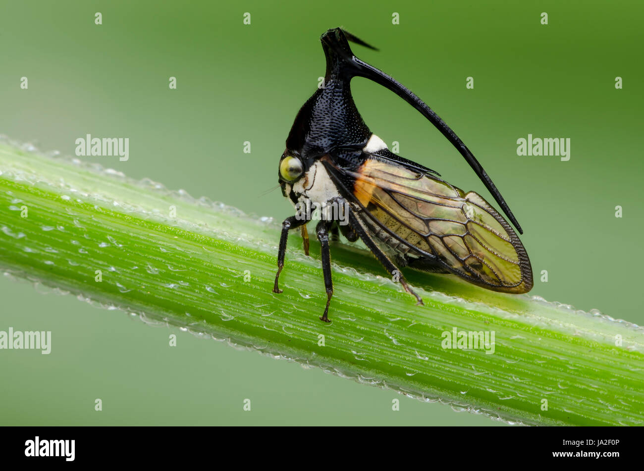 horned tree hopper found in selangor malaysia. - Stock Image
