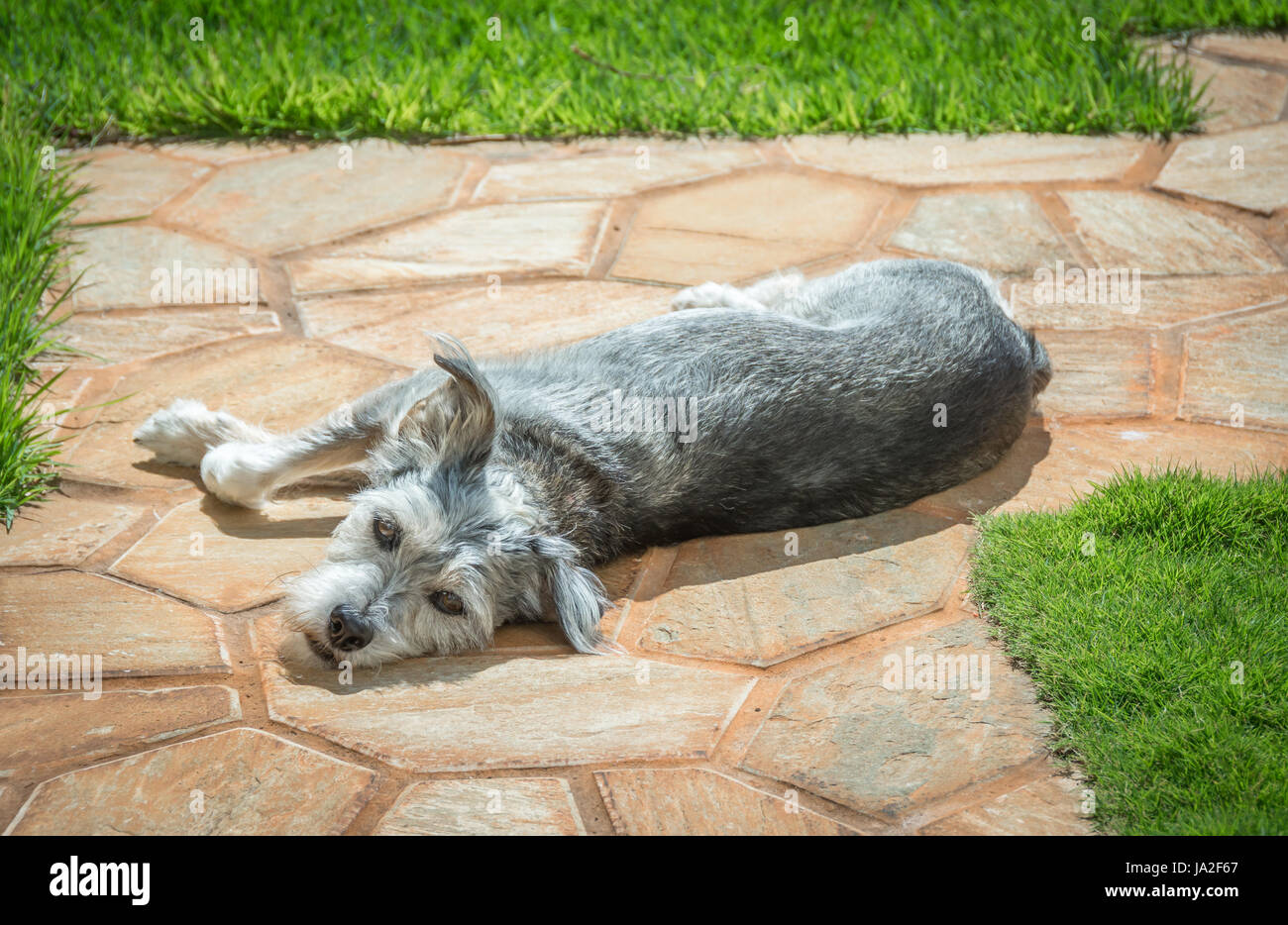 A small gray dog, Schnauzer Terrier mix, lying in the warm sun while staring into the camera on a lazy day. - Stock Image