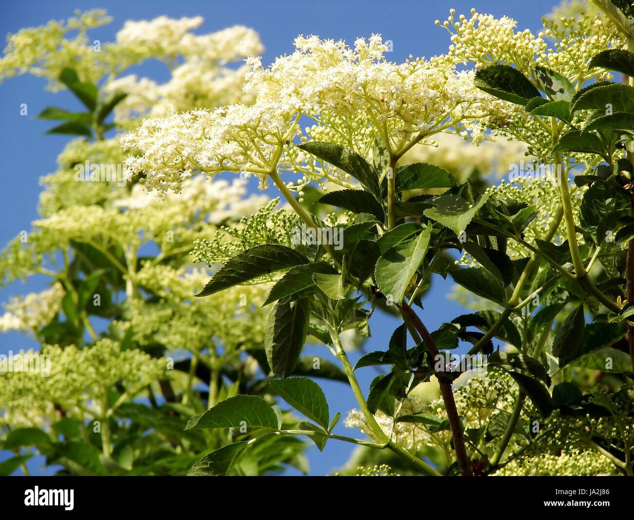 health, medicinally, medical, bloom, blossom, flourish, flourishing, bush, Stock Photo