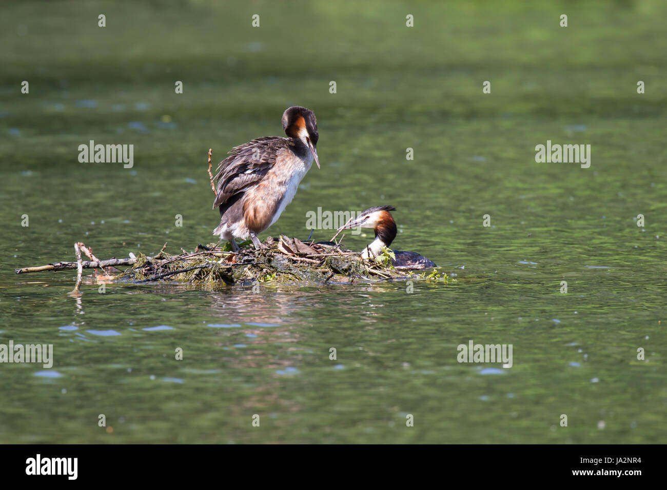 great crested grebe pair 3,crested grebes couple 3 - Stock Image