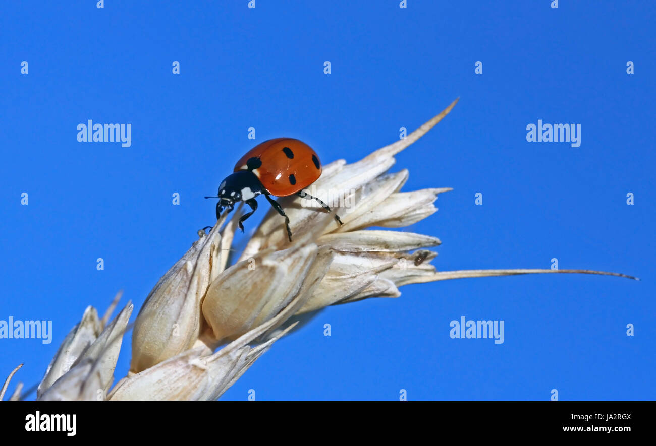 ladybug in cereals - Stock Image