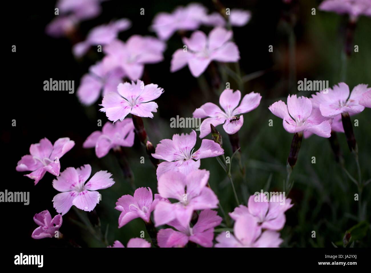 pinks macro Stock Photo