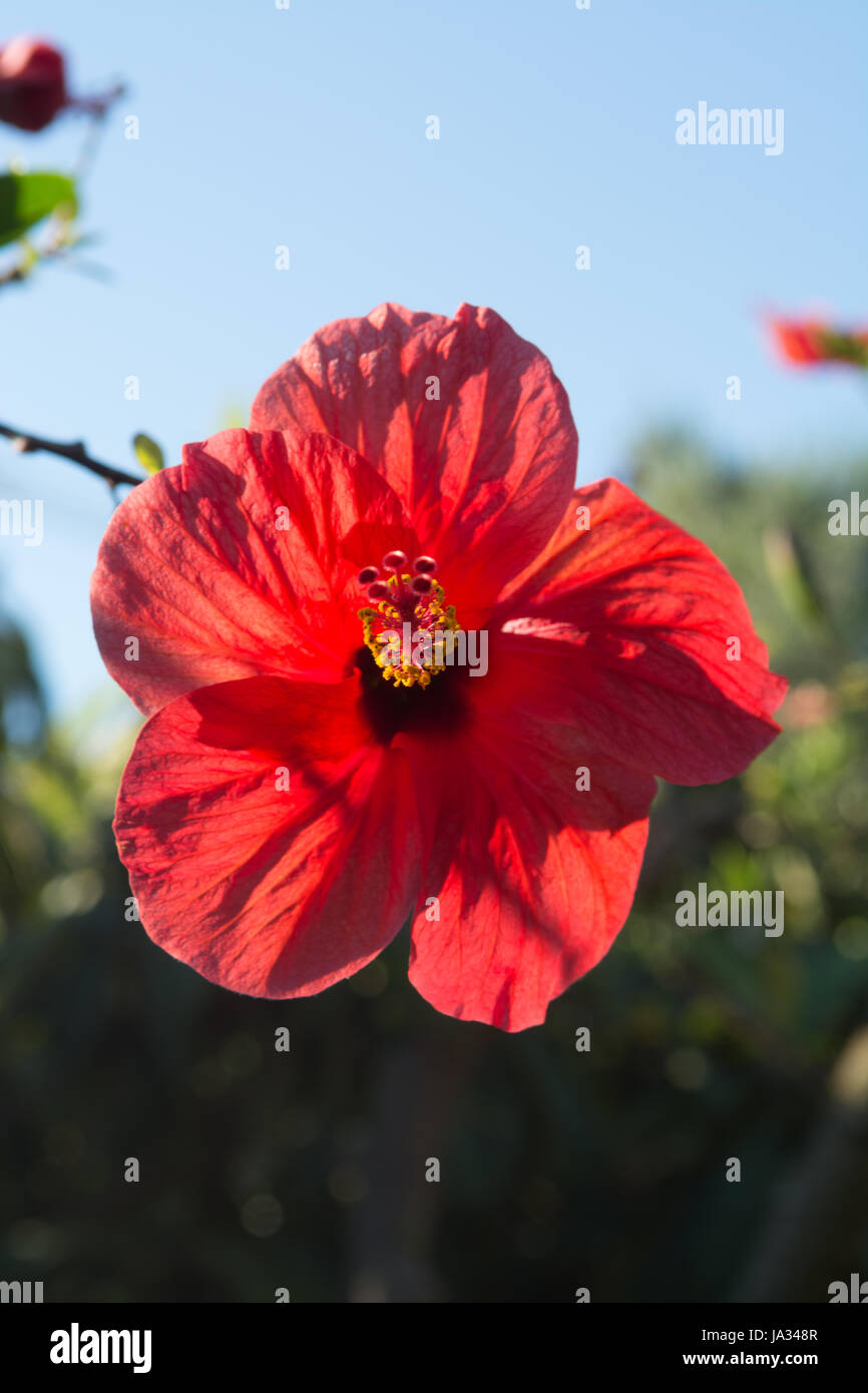 Edible hibiscus flowers stock photos edible hibiscus flowers stock beautiful hibiscus flower in the tree blossoming in the garden close up copy space izmirmasajfo