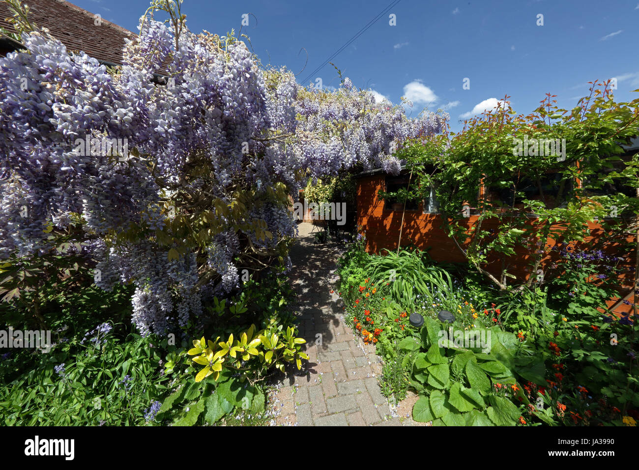 A huge Wisteria growing on a bungalow wall and reaching right across the back of the house in full bloom and looking Stock Photo