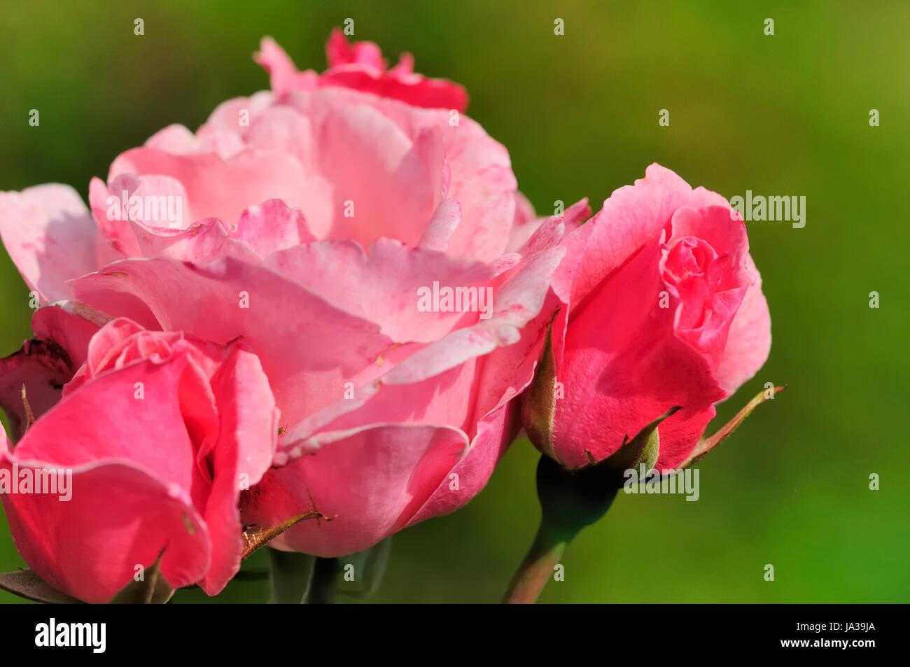 Flower plant rose flowers bushes roses shrub pink macro flower plant rose flowers bushes roses shrub pink macro close up mightylinksfo