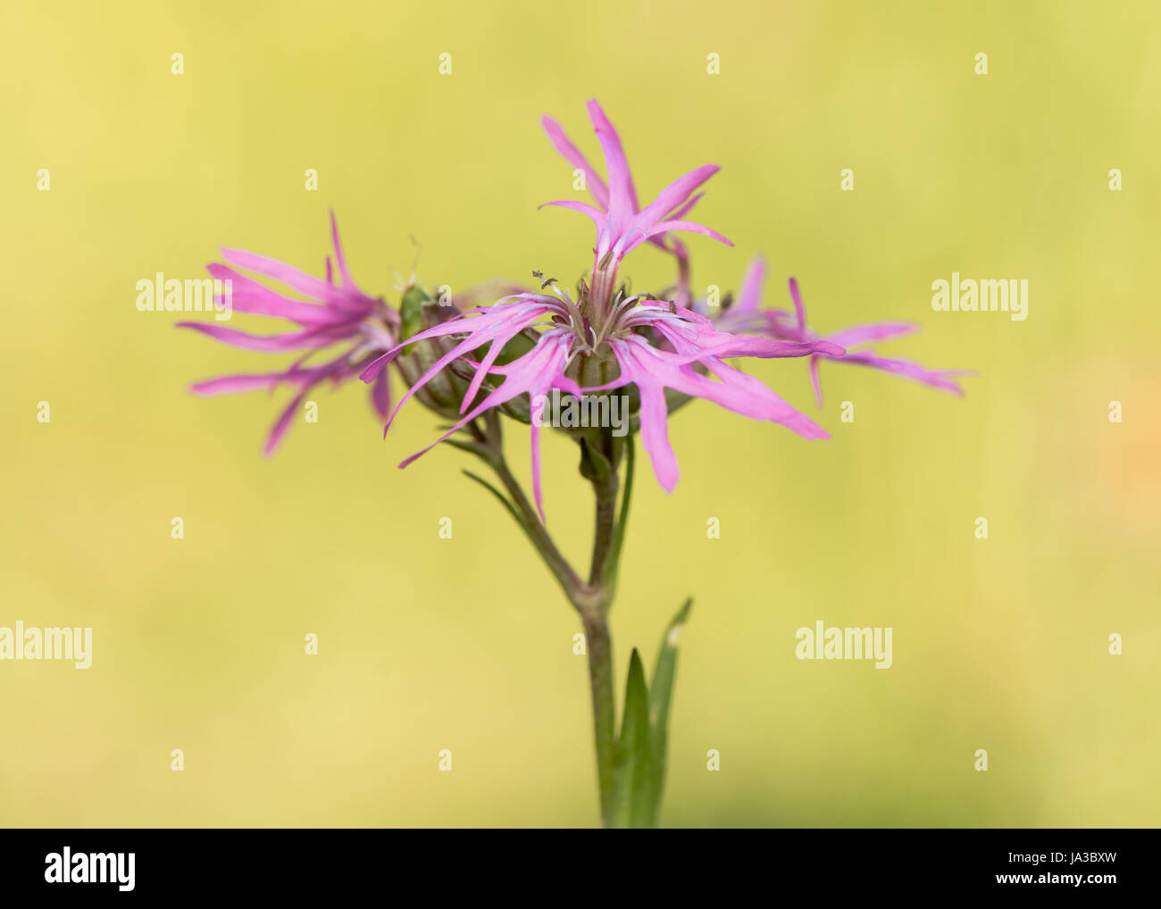 Ragged Robin (Lychnis flos-cuculi) plant in flower. Pink flowers on plant in the family Caryophyllaceae, with strange Stock Photo
