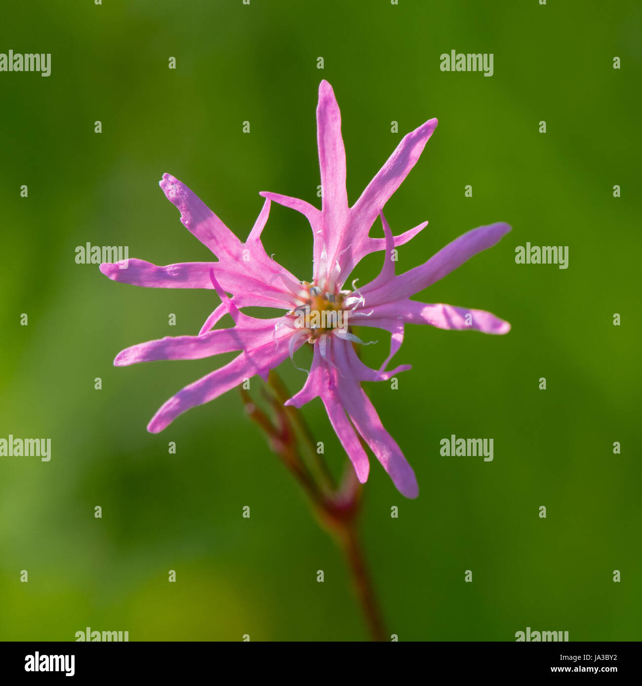 Ragged Robin (Lychnis flos-cuculi) single flower. Pink flower in the family Caryophyllaceae, with strange incomplete Stock Photo