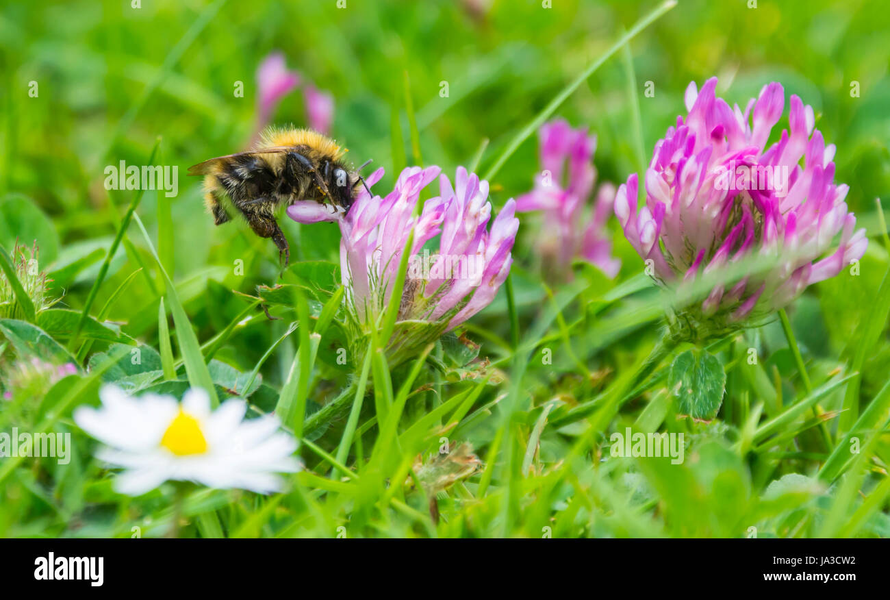 A bee pollinating flowers in early Summer in West Sussex, England, UK. - Stock Image