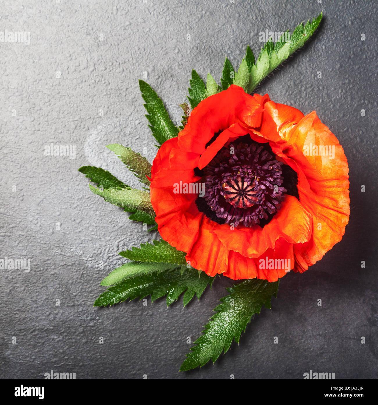 Red poppy flower with leaves on dark background summer garden stock red poppy flower with leaves on dark background summer garden flowers top view copy space mightylinksfo