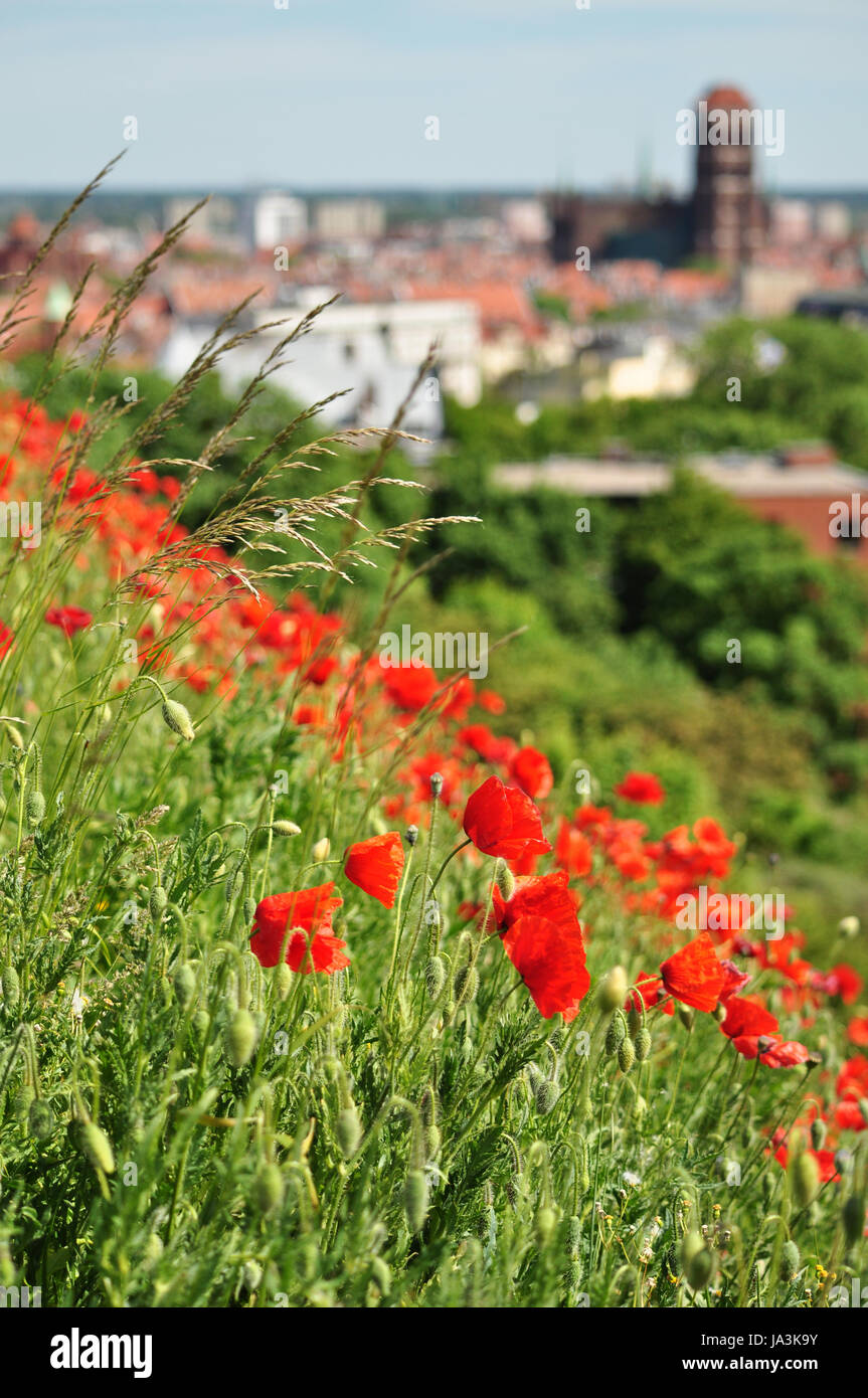 Summer Time In Poland Poppy Flowers Field And Olg Gdansk Top View