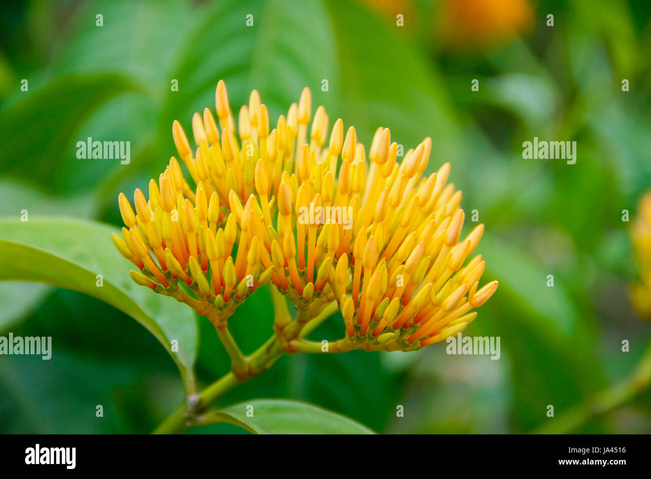 West indian jasmine stock photos west indian jasmine stock images beautiful bouquet orange ixoras flower west indian jasmine flower on its plant stock image izmirmasajfo