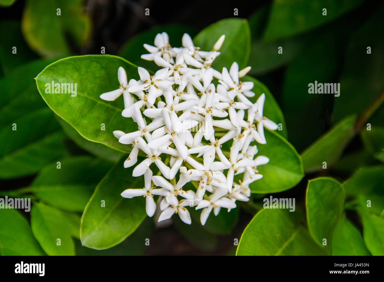 West indian jasmine stock photos west indian jasmine stock images beautiful bouquet of white ixoras flower west indian jasmine flower on its plant stock izmirmasajfo
