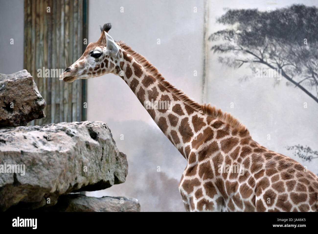 Zoo de la Flèche, France - Stock Image