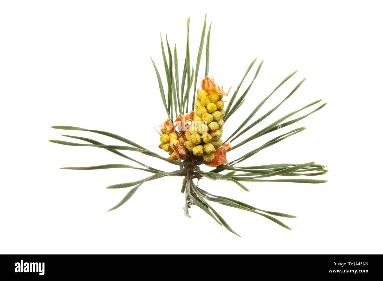 Conifer flower and pine needles isolated against white - Stock Image