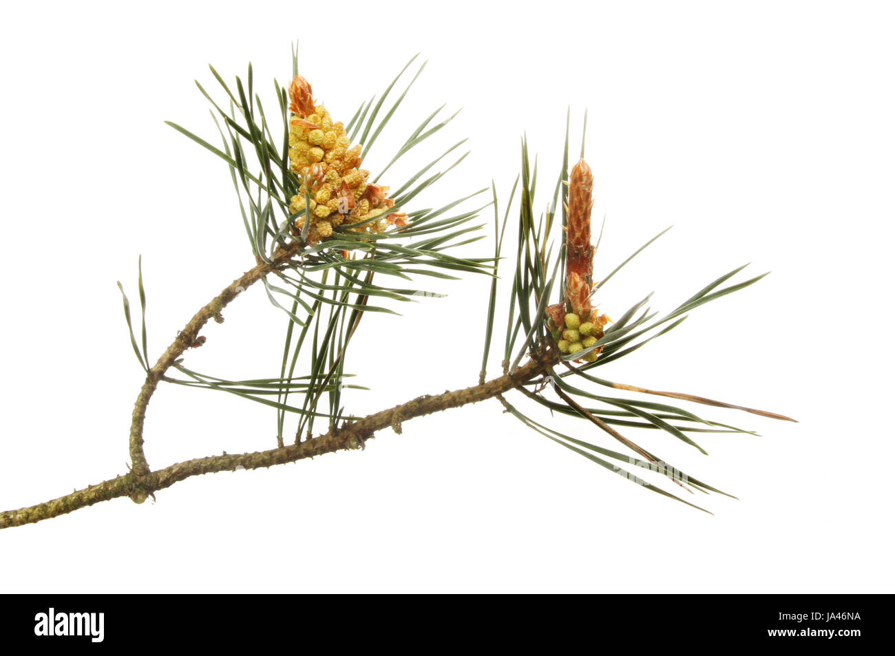 Conifer flowers and pine needles isolated against white - Stock Image