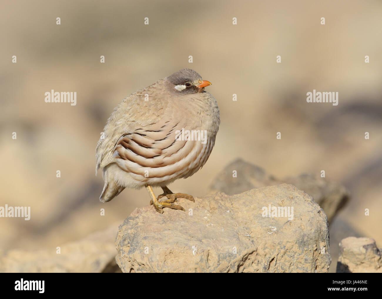 Sand Partridge - Ammoperdix heyi Stock Photo