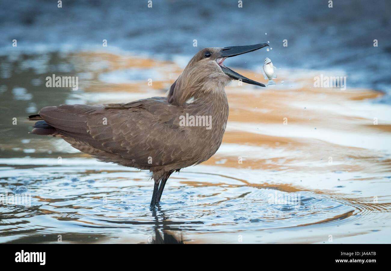 Hammerkop eating a fish in the Okavango Delta of Botswana - Stock Image