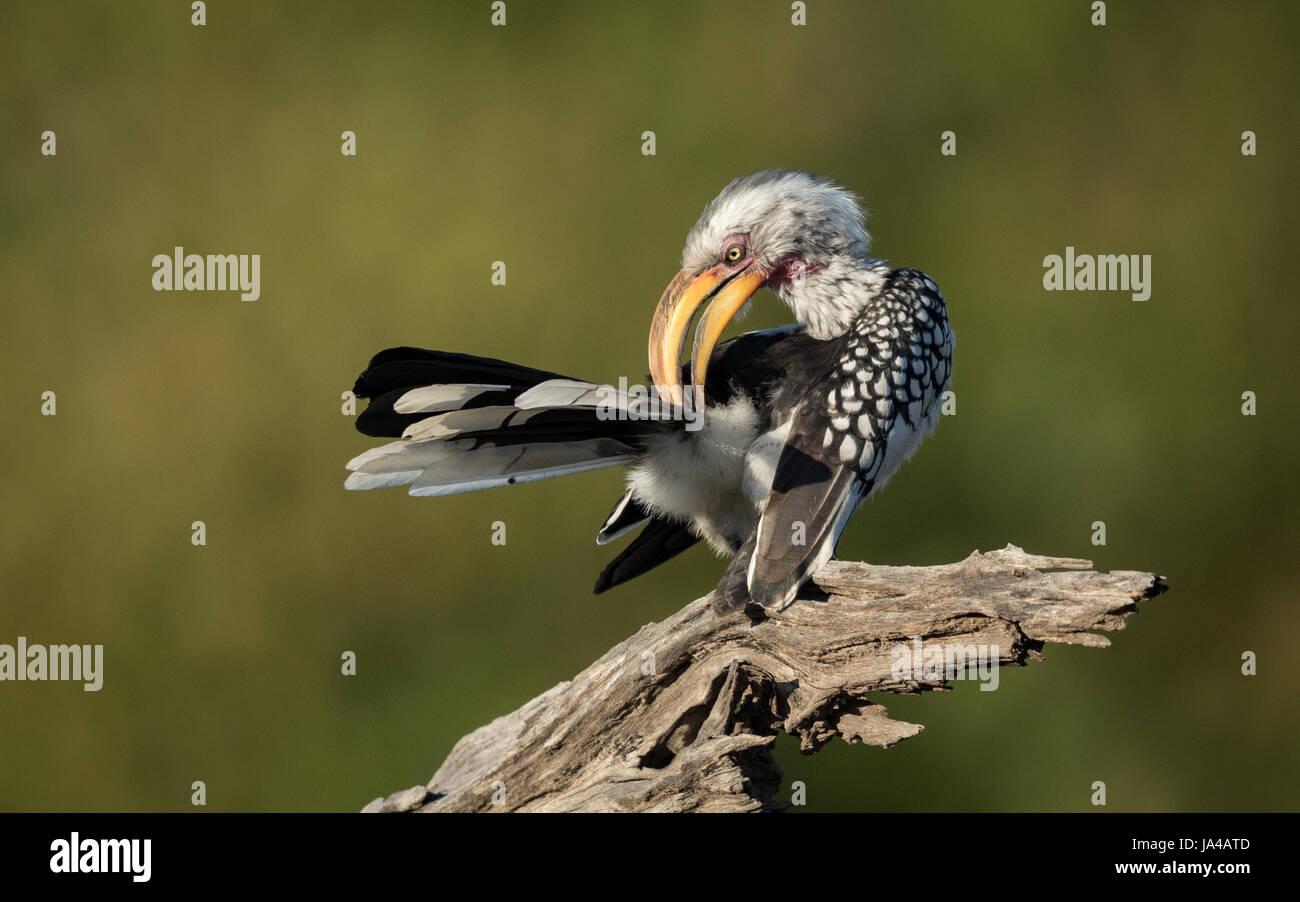 Yellow Billed Hornbill preening in the Okavango Delta of Botswana - Stock Image