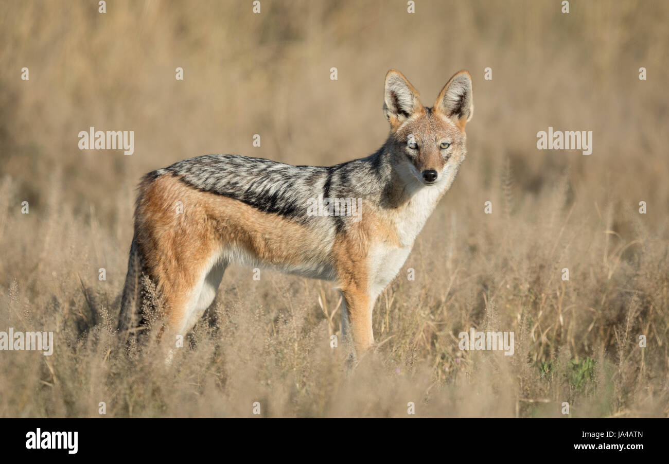 Black Backed Jackal adult in the Savuti area of the Chobe National Park in Botswana - Stock Image