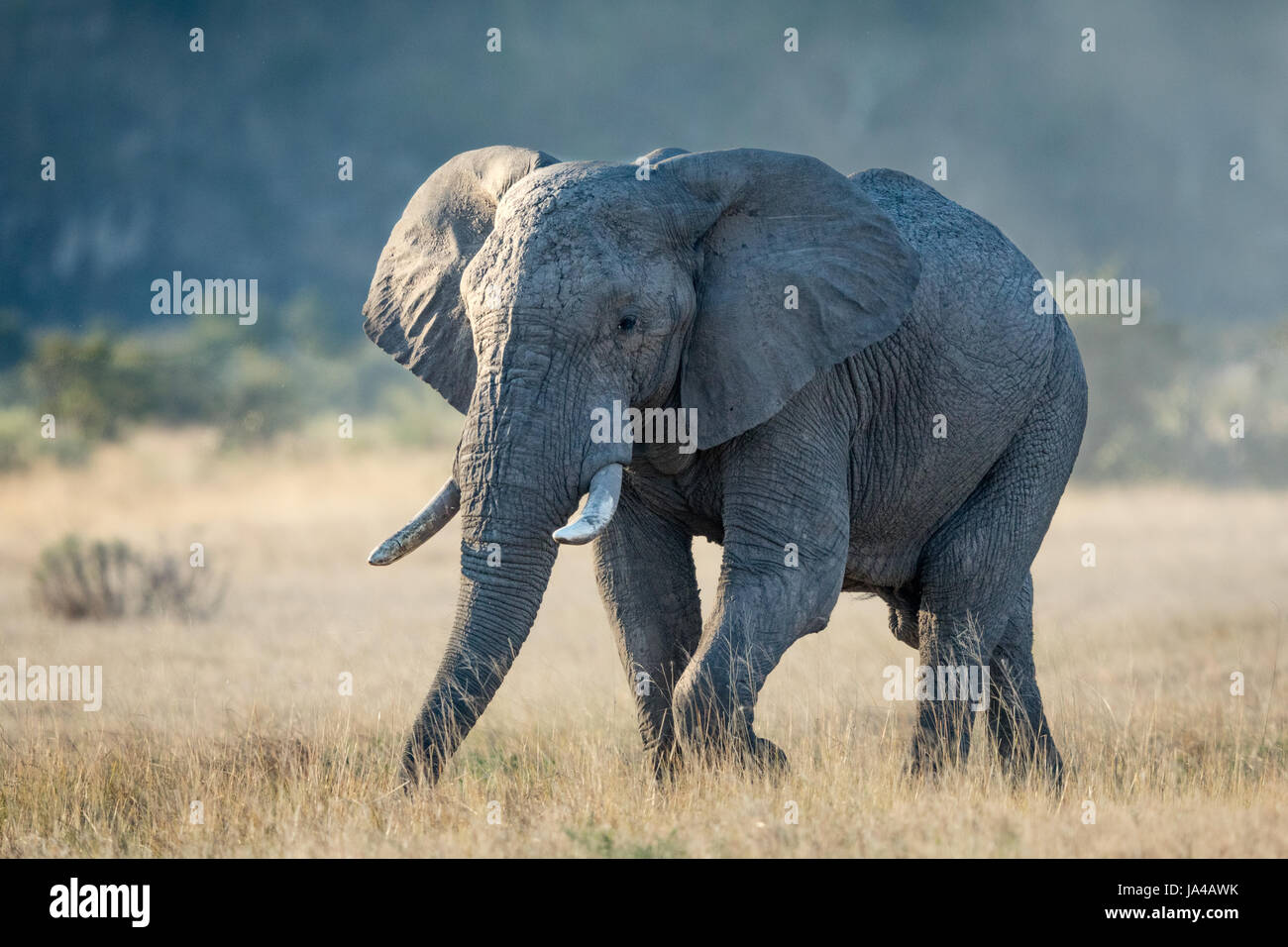 A bull Elephant in the Savuti area of the Chobe National Park in Botswana - Stock Image