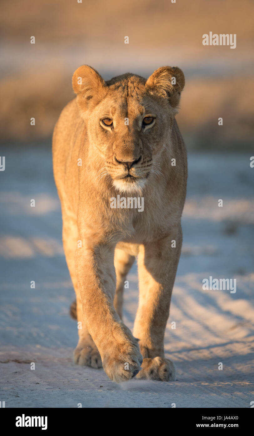 Young Lioness in the Savuti area of Botswana - Stock Image