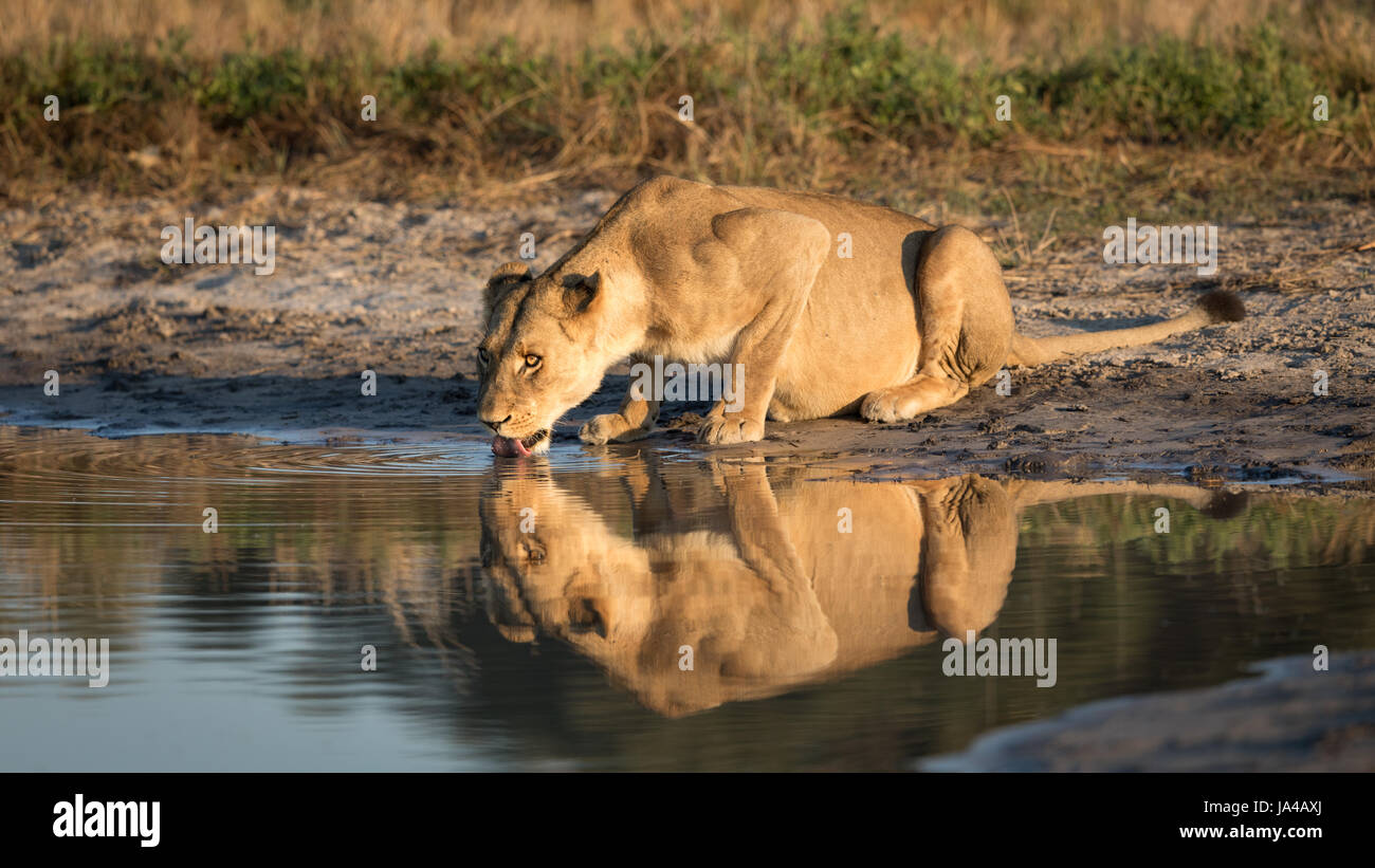 Adult Lioness drinking water from a natural pan in the Savuti area of the Chobe National Park in Botswana - Stock Image