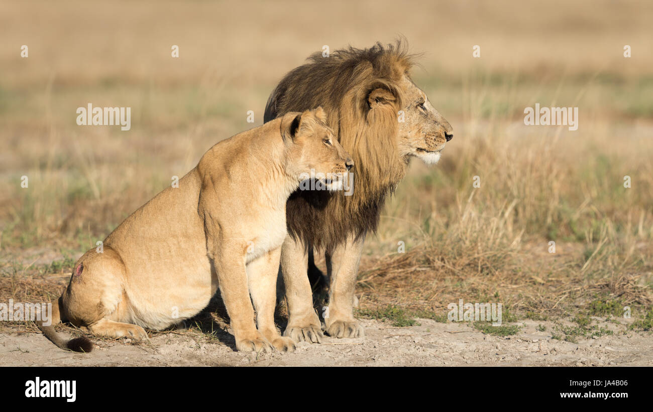 Mating pair of African Lions in the Savuti area of Botswana Stock Photo