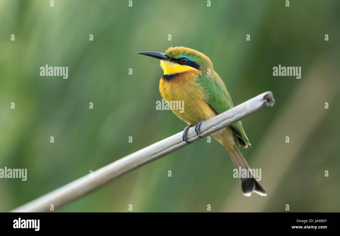 Little Bee eater on a reed perch at the Chobe River in Botswana - Stock Image