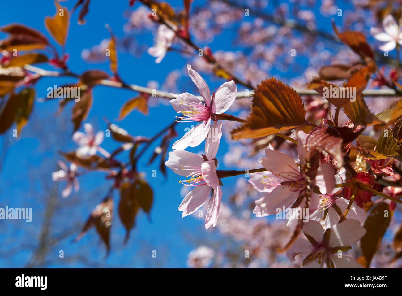 Prunus sargentii, Sargents cherry tree blossom, Finland Europe Stock Photo