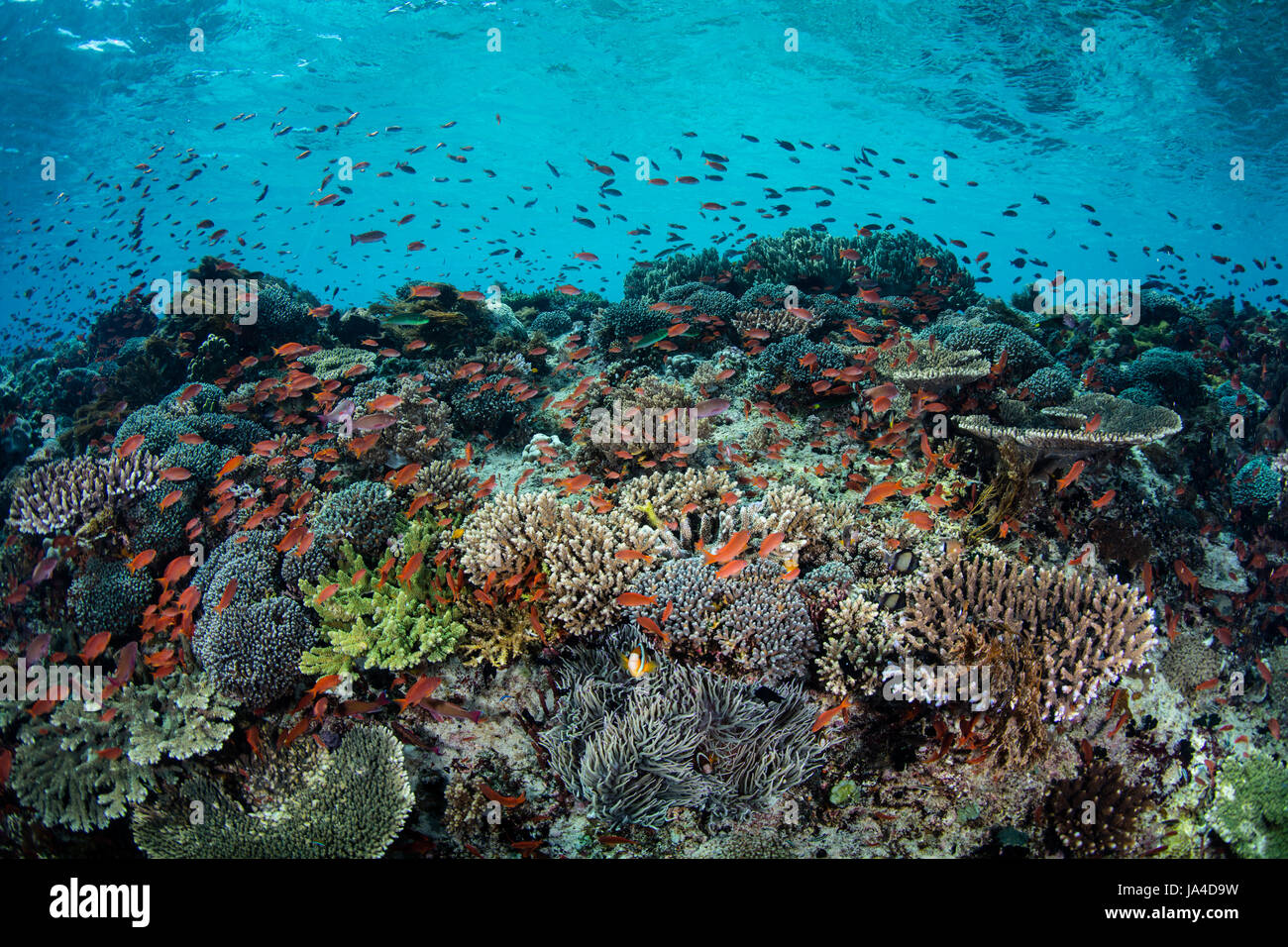 Colorful tropical reef fish, mainly Scalefin anthias, swim above a beautiful, current-swept coral reef near the - Stock Image