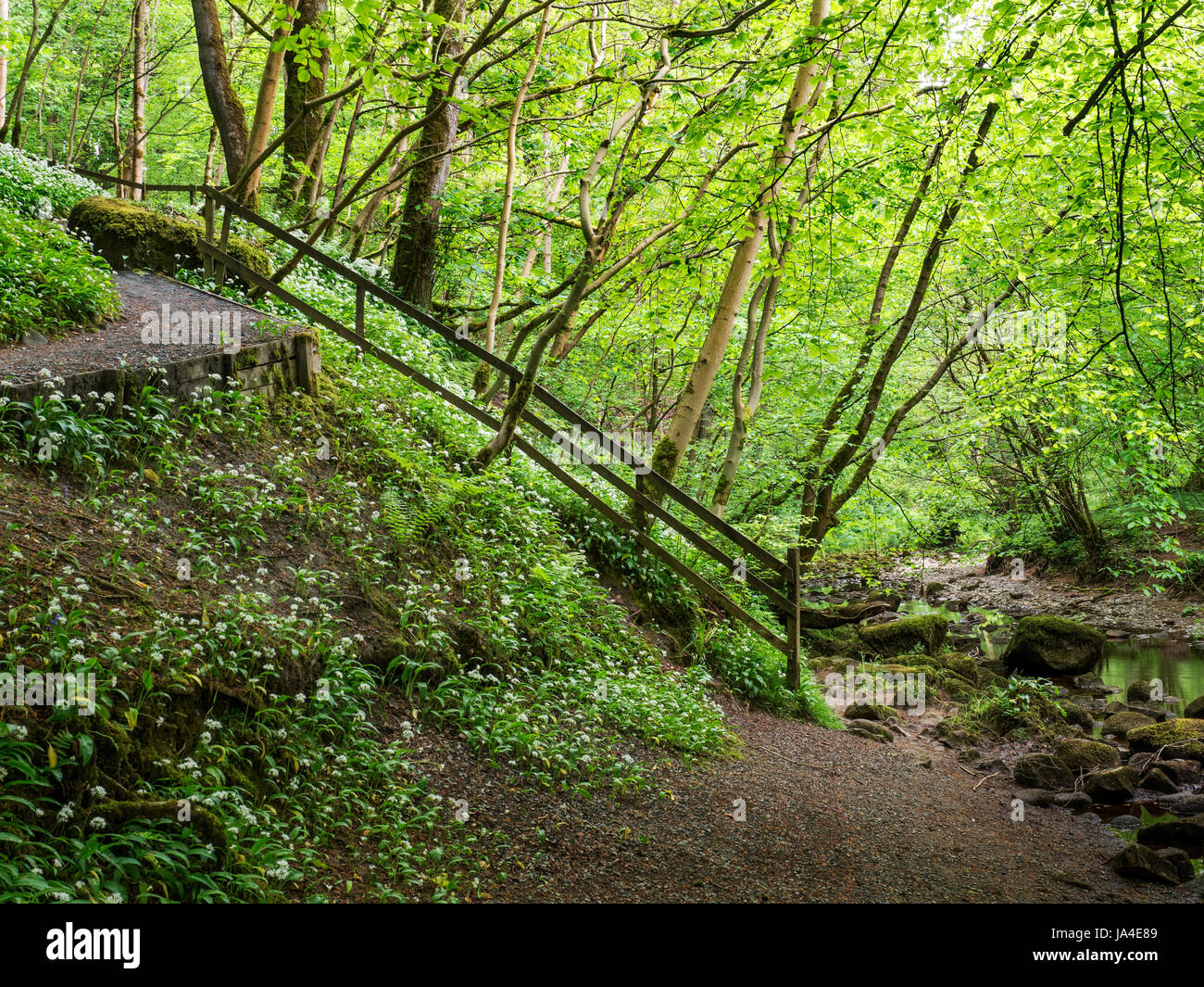 Wild Garlic Flowers and Spring Trees on a Bank by the River Wharfe in Strid Wood at Bolton Abbey North Yorkshire - Stock Image