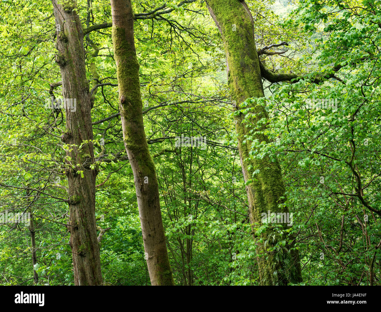 Detail of Spring Trees in Strid Wood at Bolton Abbey North Yorkshire England - Stock Image