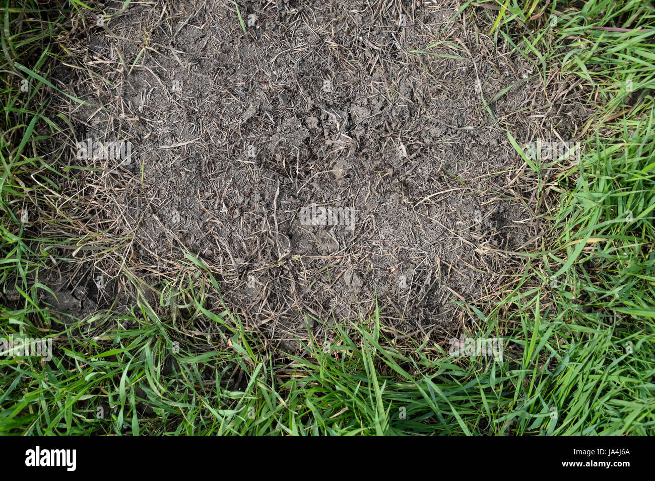 Ordinary ants on an anthill. Social insects. Stock Photo