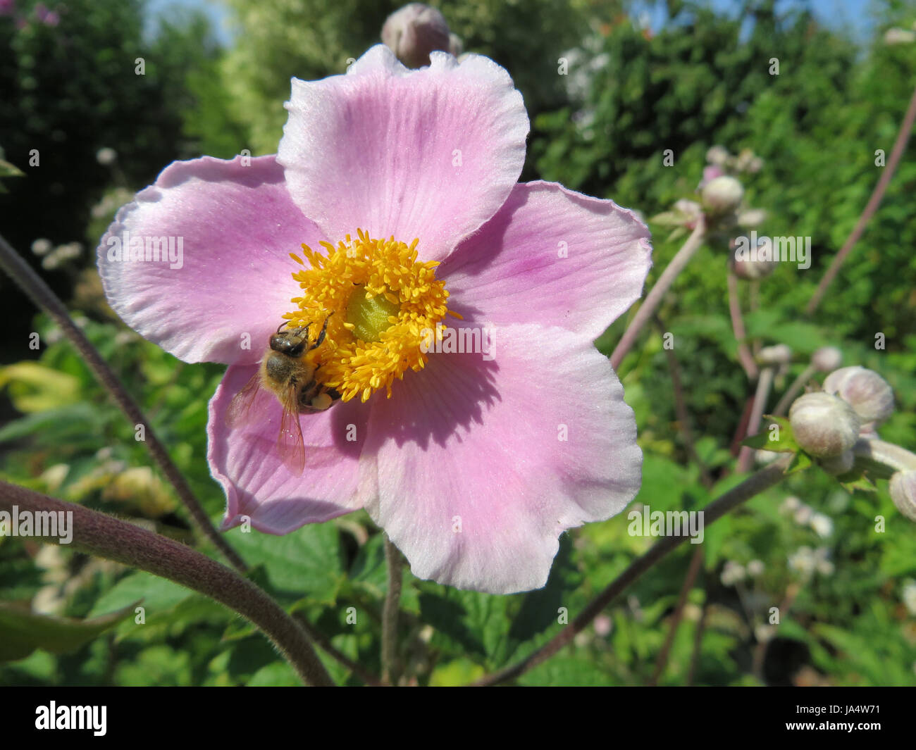 Herbstanemone Anemone Hupehensis Stock Photo 143937109 Alamy
