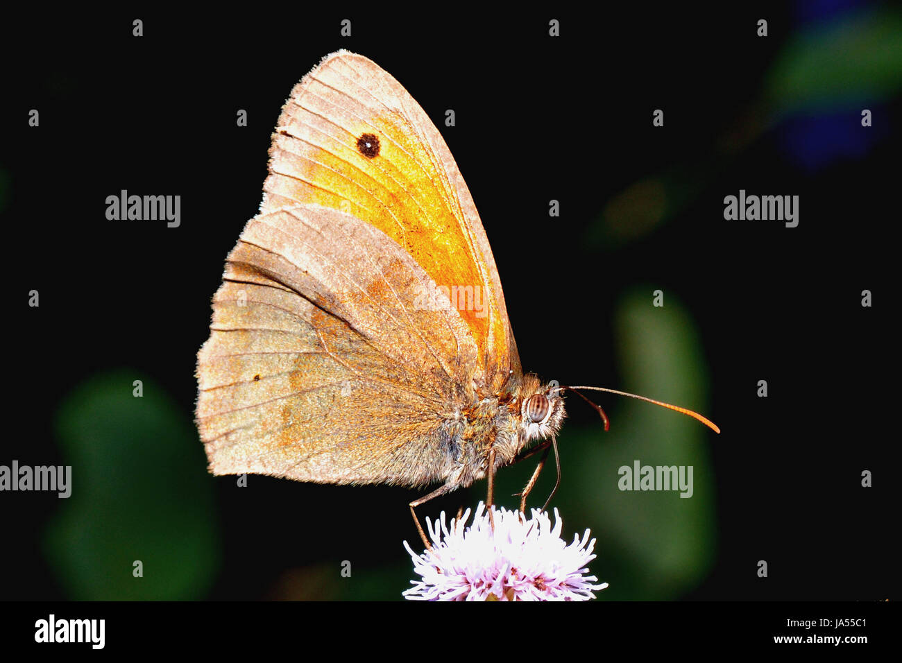 small heufalter on blossom - Stock Image