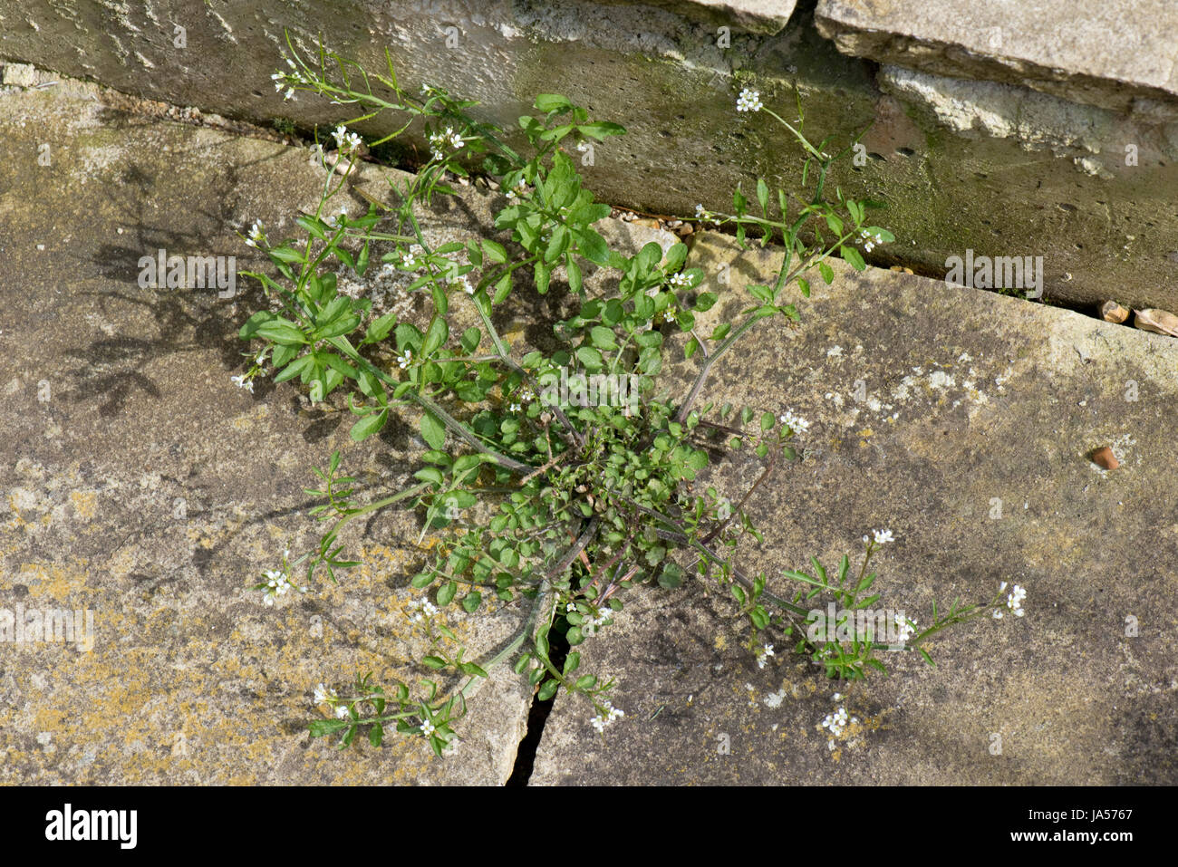 Hairy bittercress, Cardamine hirsuta, growing between paving slabs and flowering and seeding, Berkshire, April Stock Photo