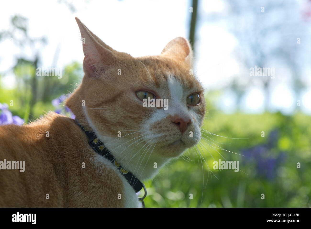 A ginger cat with her ears back looking alert with half closed ears ready to defend or attack - Stock Image