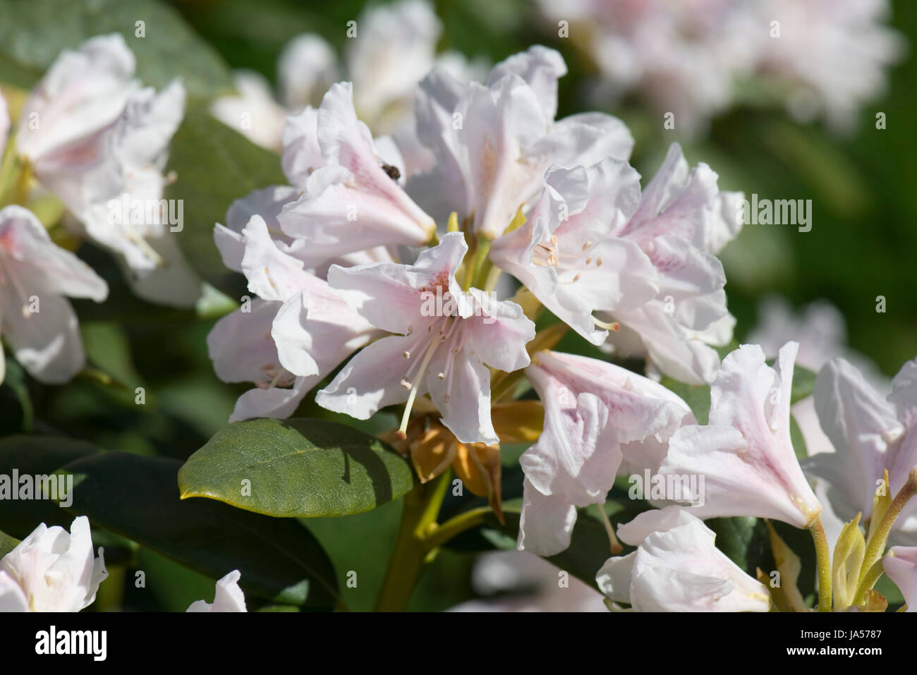 Flowers and leaves on Rhododendron 'Cunningham White', slight pink flowers on this spring flowerinf ericaceous - Stock Image