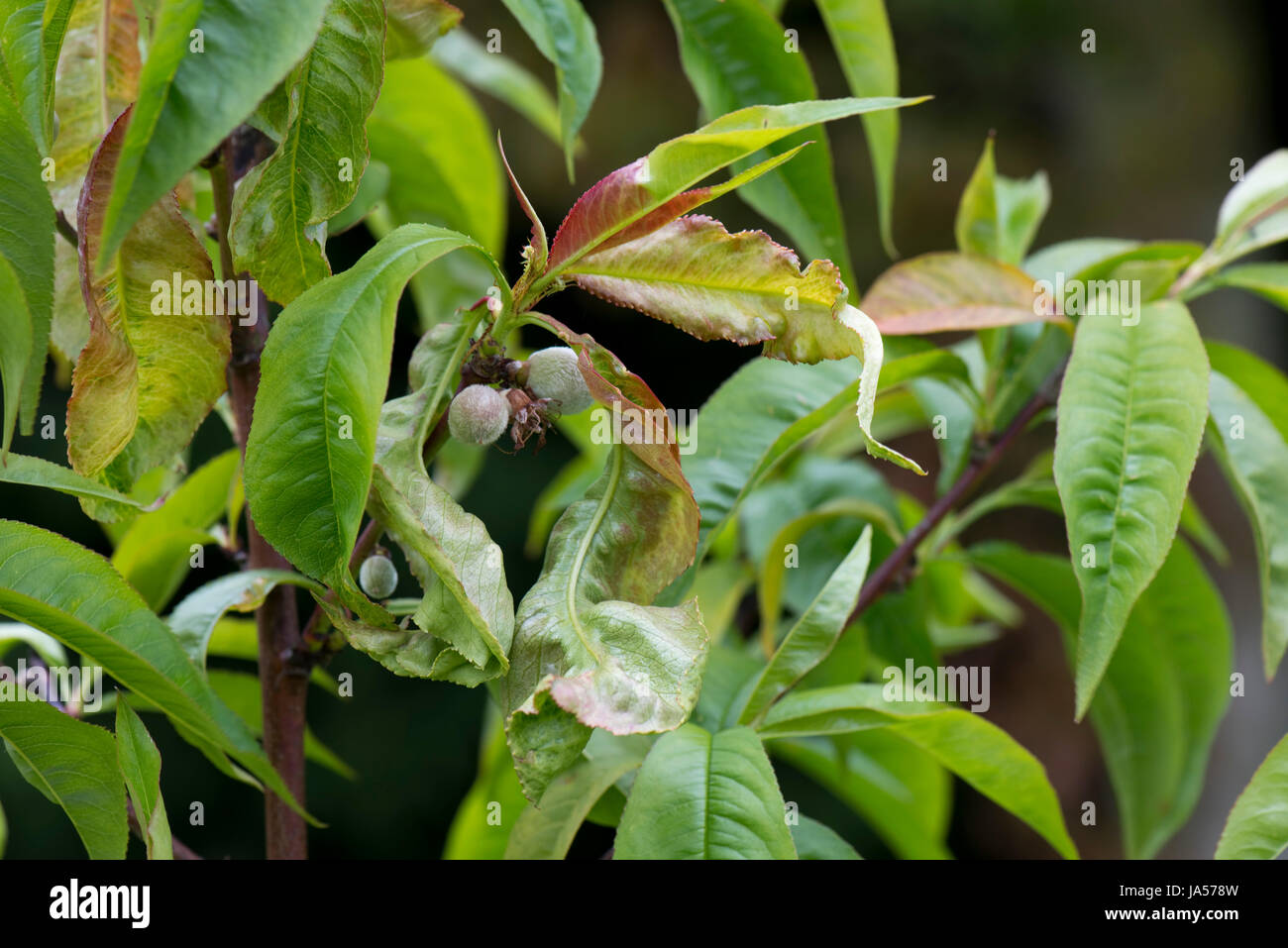 Peach leaf curl, Taphrina defrmans, a fungal disease deforming and blistering the leaves on a young nectarine tree - Stock Image
