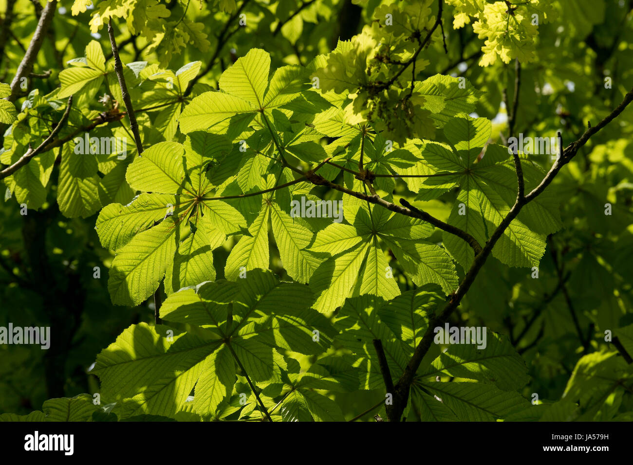Spring sunlight shining through the young leaves of a horse chestnut or conker, Aesculus hippocastaneum, tree, Berkshire, - Stock Image