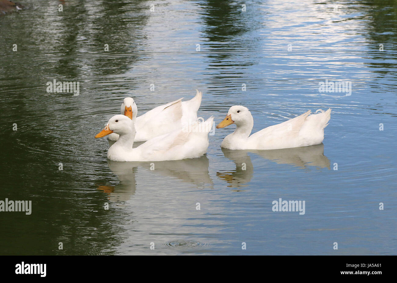June 4, 2017 - The Pekin or Peking, also White Pekin, is an American breed of domestic duck - Stock Image
