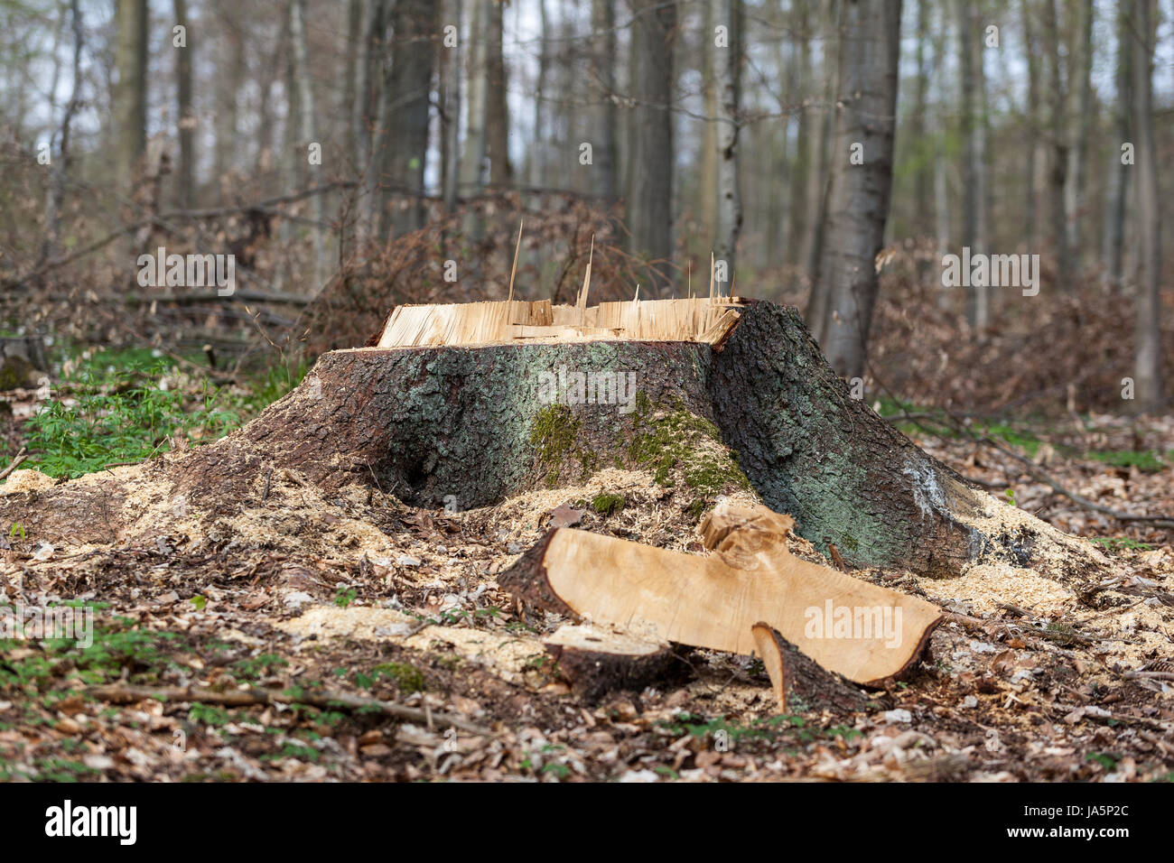 tree, timber, snag, effective area, rendition, forest, forestry, tree, wood, - Stock Image