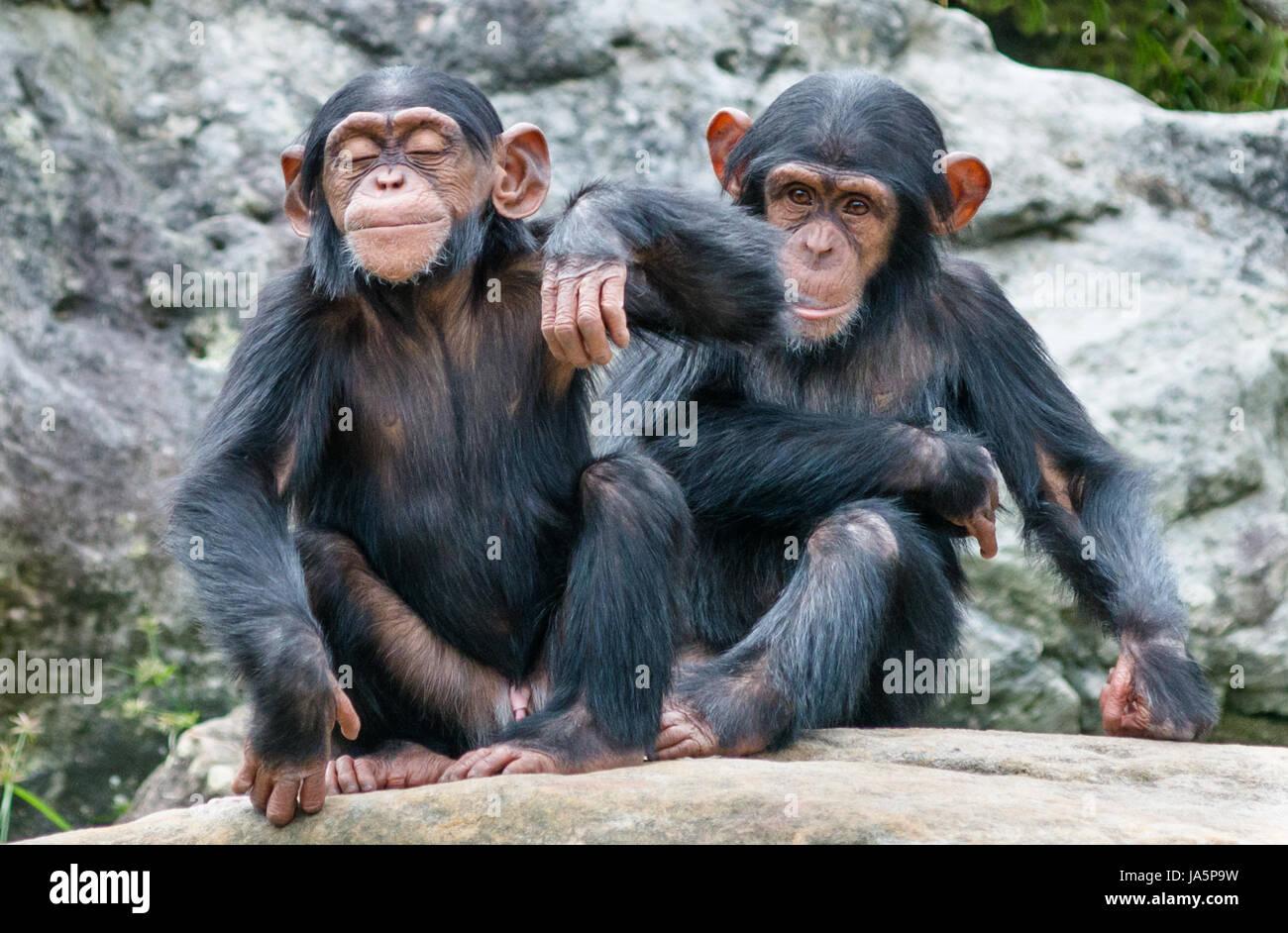 Chimpanzees Stock Photos & Chimpanzees Stock Images - Alamy