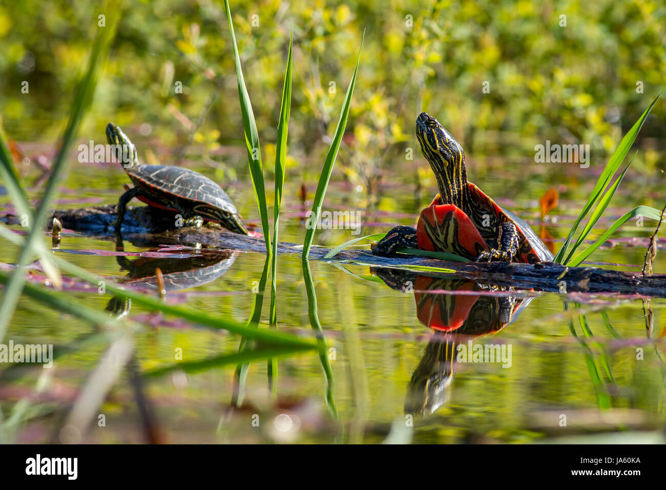 Two painted turtles basking in the sun on a log in Twin Lakes, Idahi. - Stock Image