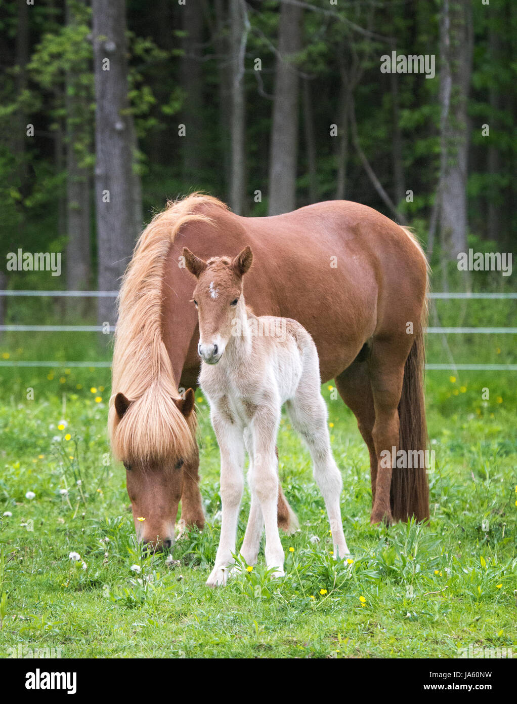 Icelandic horse mare and her newborn foal Stock Photo