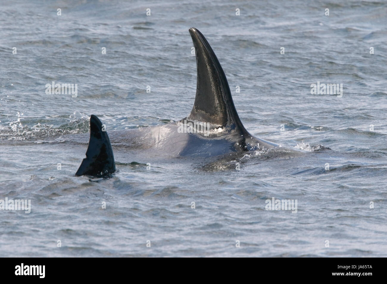 orca or killer whale (Orcinus orca), showing dorsal fin of two animals swimming in sea off Falkland Islands - Stock Image