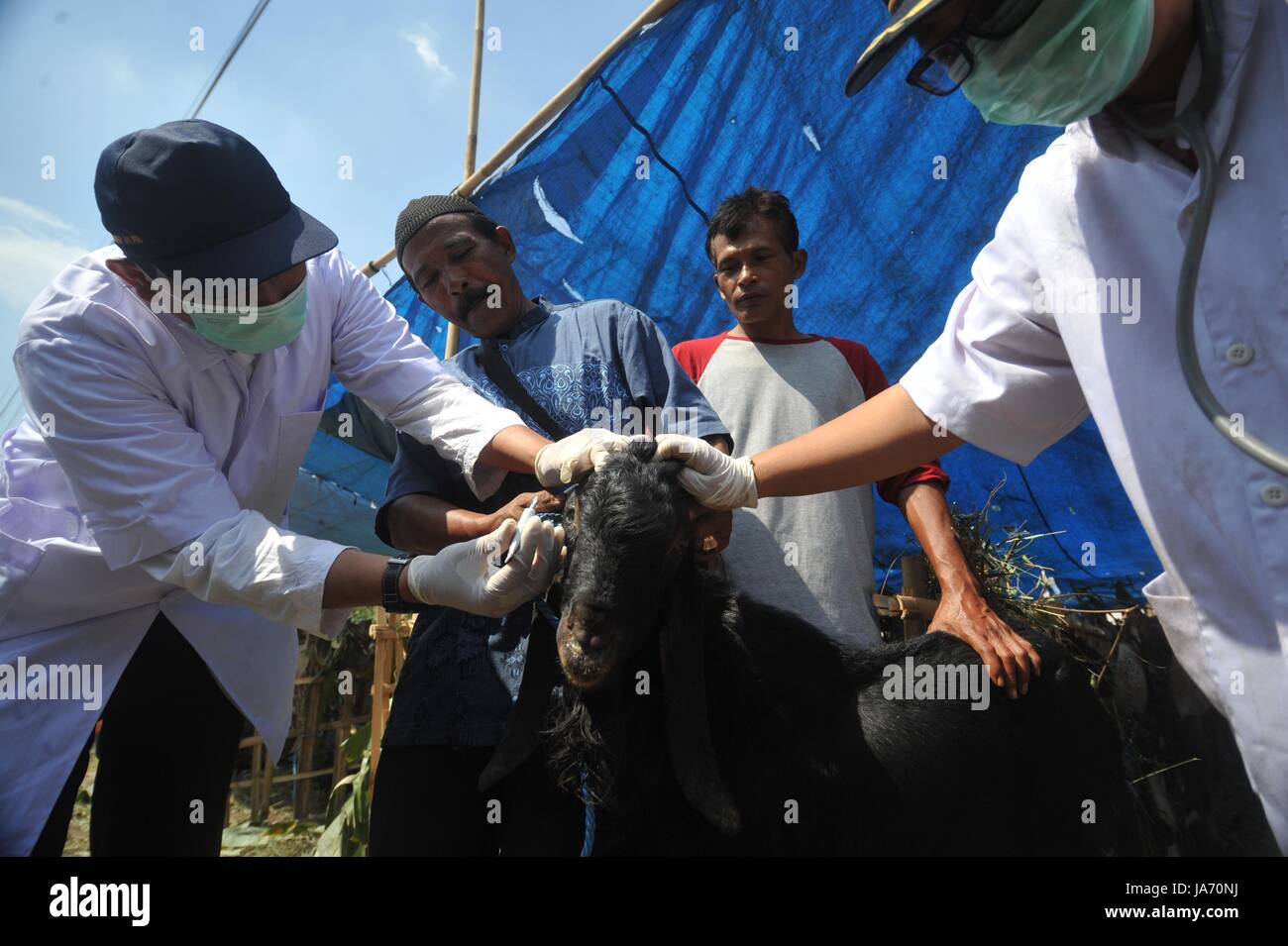 (170824) -- JAKARTA, Aug. 24, 2017 (Xinhua) -- Medical staff check the health condition of a goat at a makeshift Stock Photo