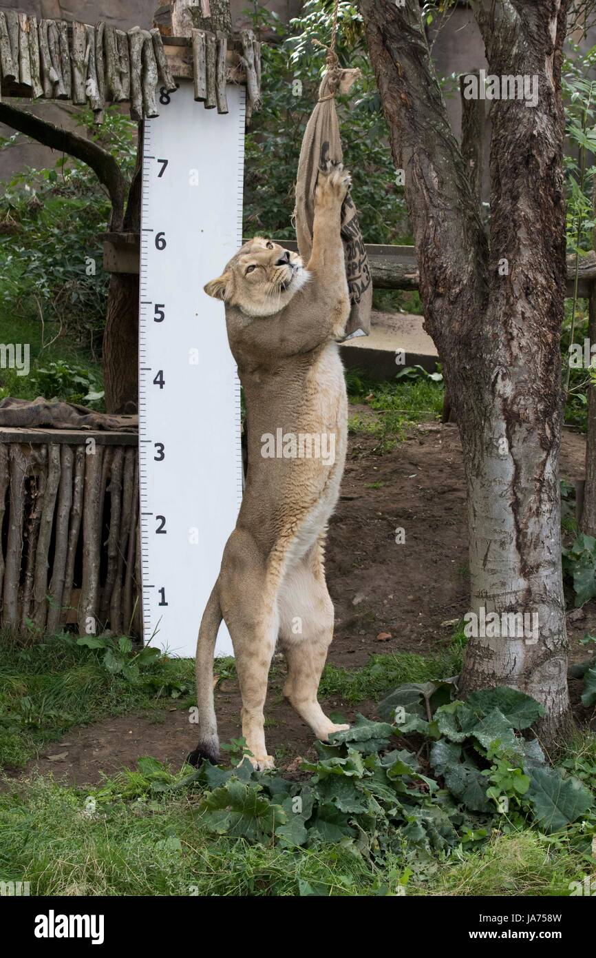 (170824) -- LONDON, Aug. 24, 2017 (Xinhua) -- An Asiatic lion is seen at ZSL London Zoo's 2017 annual weigh-in event Stock Photo